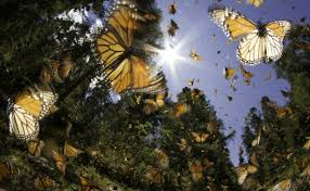 Monarch butterfly sanctuary in Michoacán temporarily closed due to Covid-19